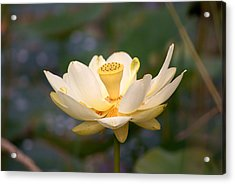 Acrylic Print featuring the photograph American Lotus by B Wayne Mullins