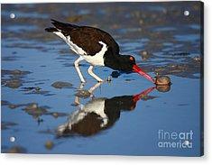 Acrylic Print featuring the photograph American Oystercatcher Mirror by John F Tsumas