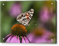 American Painted Lady Butterfly Acrylic Print by Christina Rollo