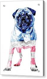 American Pug Acrylic Print by Edward Fielding