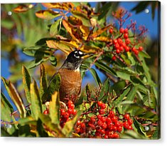 American Robin Acrylic Print by James Peterson