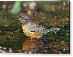 American Robin (turdis Migratorius Acrylic Print by Richard and Susan Day