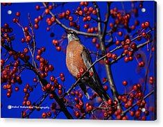 American Robin Acrylic Print by Wahed Mohammed