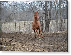 American Saddlebred Acrylic Print by Jennifer  King