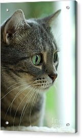 American Shorthair Cat Profile Acrylic Print by Amy Cicconi