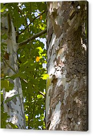 American Sycamore Acrylic Print by Denise Beverly