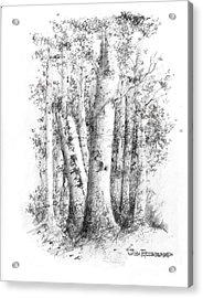 American White Birch Acrylic Print