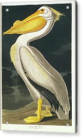 American White Pelican Acrylic Print by Natural History Museum, London/science Photo Library