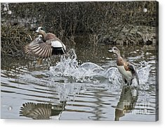 American Wigeon Pair Acrylic Print by Anthony Mercieca