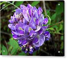 American Wisteria Acrylic Print by William Tanneberger