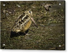 American Woodcock 2 Acrylic Print by Thomas Young