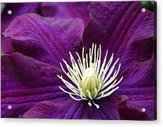 Amethyst Colored Clematis Acrylic Print by Kay Novy