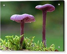 Amethyst Deceiver Fungus Acrylic Print
