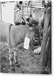 Amish Donkey At Action Acrylic Print by Eric  Schiabor