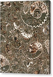 Ammonite Marble Acrylic Print by Natural History Museum, London/science Photo Library
