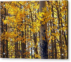 Among The Aspen Trees In Fall Acrylic Print