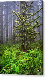 Among The Redwoods Acrylic Print by Mike  Walker