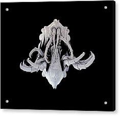 Amphipod Crustacean Acrylic Print by Petr Jan Juracka