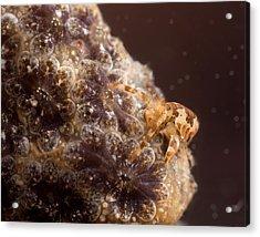 Amphipod On Botryllus Acrylic Print