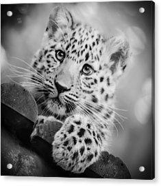 Amur Leopard Cub Portrait Acrylic Print by Chris Boulton