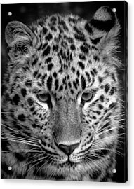 Amur Leopard In Black And White Acrylic Print