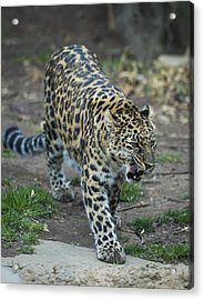 Amur Leopard Acrylic Print by Phil Abrams