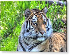 Amur Tiger 6 Acrylic Print by Jimmy Ostgard