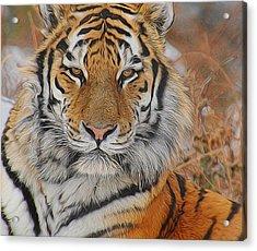 Amur Tiger Magnificence Acrylic Print