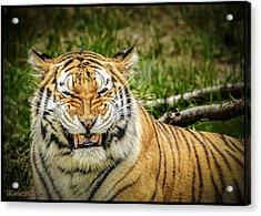 Amur Tiger Smile Acrylic Print by LeeAnn McLaneGoetz McLaneGoetzStudioLLCcom