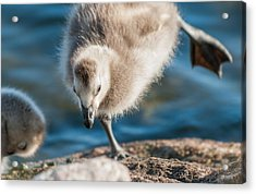 An Acrobatic Goose Acrylic Print by Janne Mankinen