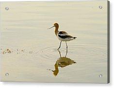 An Avocet Walking The Shore Acrylic Print by Jeff Swan