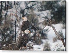 An Eagle Pair  Acrylic Print