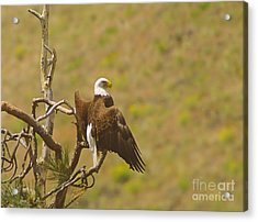 An Eagle Stretching Its Wings Acrylic Print by Jeff Swan