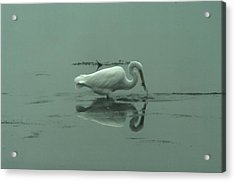An Egret Feeding Acrylic Print by Jeff Swan