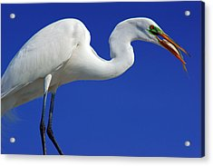An Egret's Lunch Acrylic Print