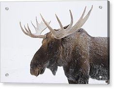 An Elk Cervus Canadensis With Snow Acrylic Print