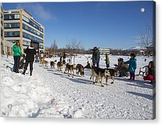 An Iditarod Racer In Anchorage Acrylic Print by Tim Grams