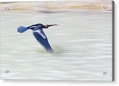 An Indian Darter (anhinga Melanogaster) Acrylic Print