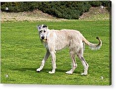 An Irish Wolfhound Puppy Playing Acrylic Print by Zandria Muench Beraldo