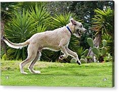 An Irish Wolfhound Puppy Running Acrylic Print by Zandria Muench Beraldo