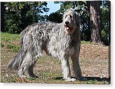 An Irish Wolfhound Standing In A Field Acrylic Print by Zandria Muench Beraldo