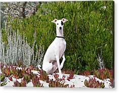 An Italian Greyhound Sitting Acrylic Print