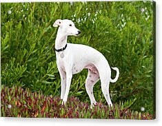 An Italian Greyhound Standing In Ice Acrylic Print