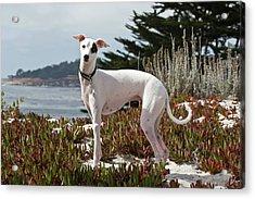 An Italian Greyhound Standing Acrylic Print by Zandria Muench Beraldo