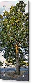 An Oak Tree In Colonial Williamsburg Acrylic Print by Gregory Scott