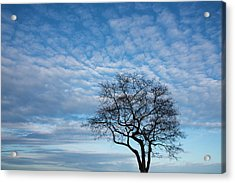 An Oak Tree On Masons Island Acrylic Print by Michael Melford