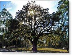 An Old Oak Tree Acrylic Print