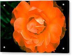 An Orange Rose Acrylic Print by Ronda Broatch