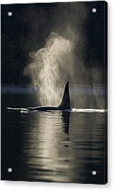 An Orca Whale Exhales Blows Acrylic Print by John Hyde