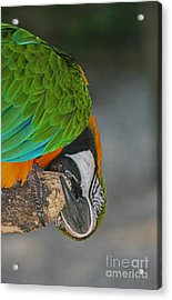 Acrylic Print featuring the photograph An Unusual Parrot View by Joan McArthur